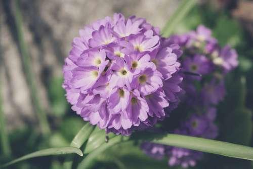 Drumstick Flower Blossom Bloom Violet Purple Pink