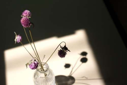 Dry Flower Globe Amaranth Light Shadow Window