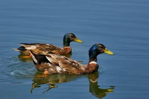 Duck Mallard Animals Birds Nature Water Feathers