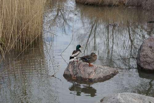 Ducks Duck Detroit Bird Nature Animal Water