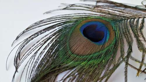 Feather Feathers Peacock Pen Bird Color Eye