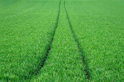 Field Wheat Green Agriculture Cereals Power