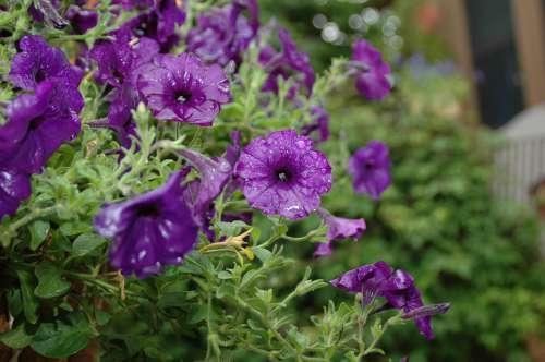 Flower Garden Rain Purple