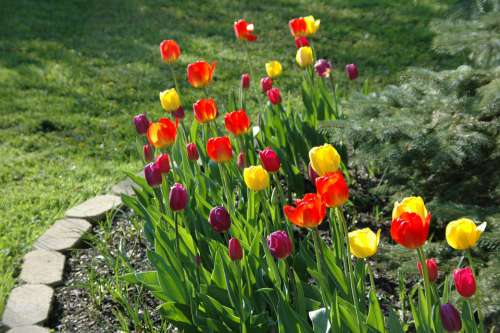 Flower Garden Bloom Red Yellow Tulips