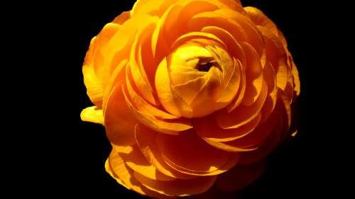 Flower Black Yellow Spring Plant Bloom