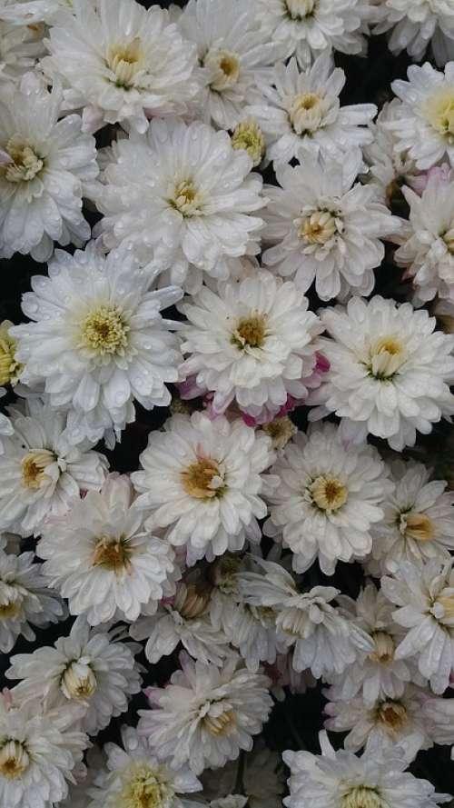 Flower Blossom Bloom White Nature Plant Spring