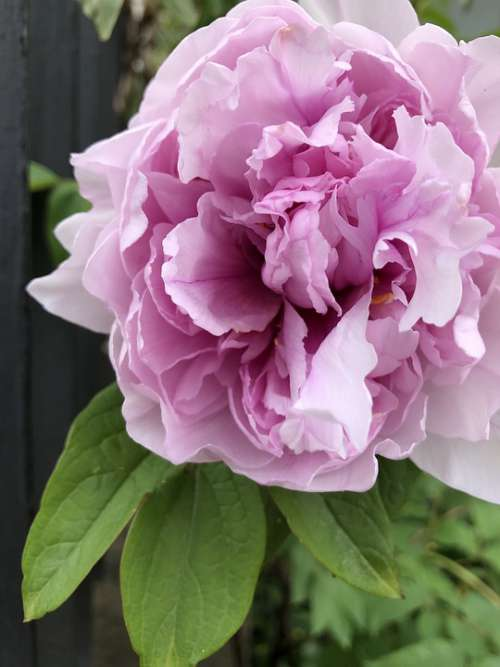 Flower Rosa Pink Rose Spring Romance Nature