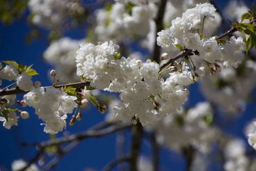 Flower Cherry Blossom Nature Blossom Bloom