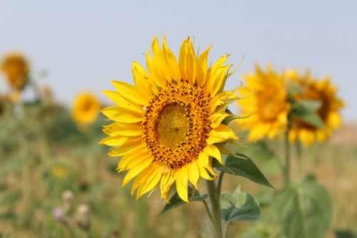 Flower Sunflower Bloom Sun Yellow Flora Petals