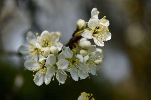 Flowers Cherry White Spring Flower Tree Cherry