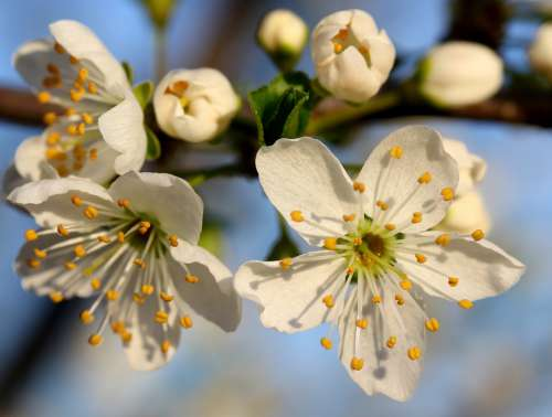 Flowers Branch White Spring Tree Bud Plant