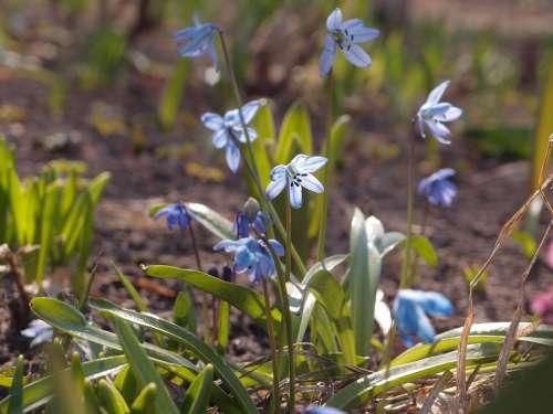 Flowers Spring Spring Flowers Scilla Blue