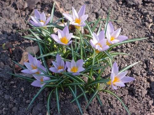 Flowers Spring Spring Flowers Lilac Primula Crocus