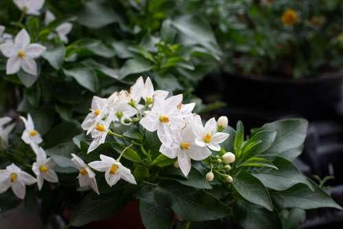 Flowers White Spring Garden Flora In The Garden