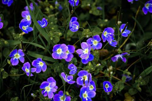 Flowers Meadow Grass Blue Violet Green Close Up
