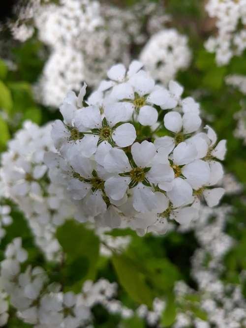 Flowers Spring Flowers White Flower Blossom Petal