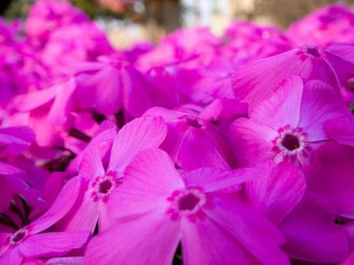 Flowers Phlox Spring Garden Plant Pink Natural