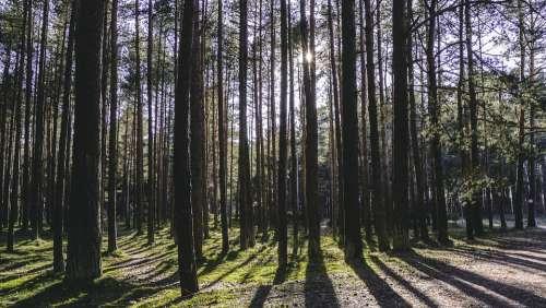 Forest Sun Daylight Shadows Tress Pines