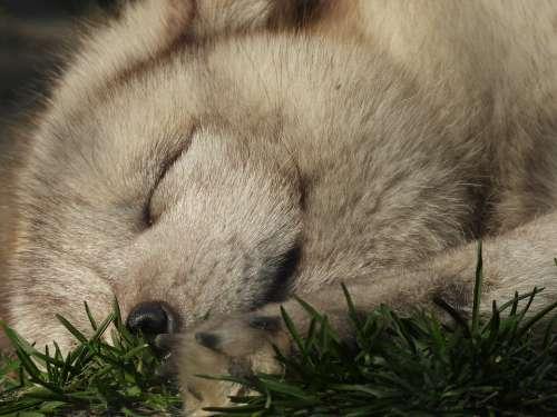 Fox Mammal Puppy Nature Fur Mammals