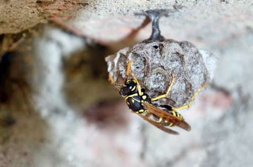 French Wasps Mother Queen Egg Wasp Sting Secret