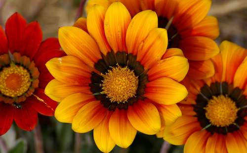 Gazania Flowers Blooms Orange Petals Bright