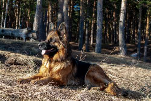 German Shepherd Dog Shepherd Nature Eyes Animal