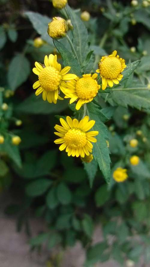 Green Plant Chrysanthemum Yellow