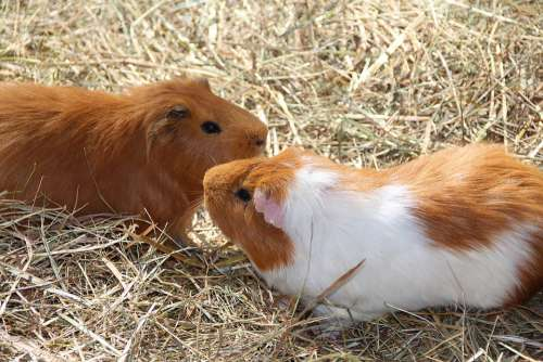 Guinea Pig Nager Rodent Small Animal Friendship
