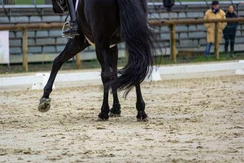 Horse Horses Dressage Pompadour Nature Animals