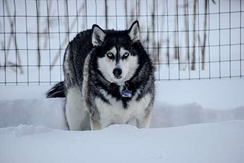 Husky Winter Dog Animal Snow Nature Pet Snowy
