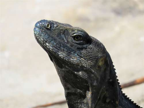 Iguana Reptile Lizard Nature Wildlife Tropical