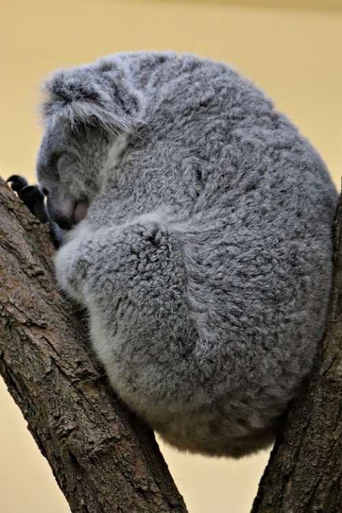 Koala Teddy Bear Australian Dormant Resting Hairy