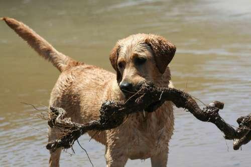 Labrador Dog Animal Beach Stick