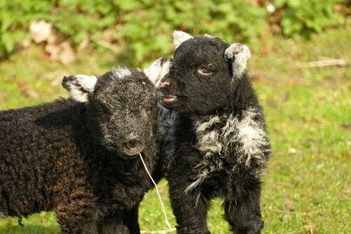 Lamb Sheep Fauna Young Farm Wool Agricultural