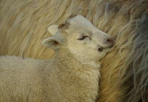 Lamb Easter Schäfchen Passover Cute Motherly Love