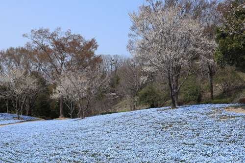 Landscape Park Spring Nemophila Flowers Wood