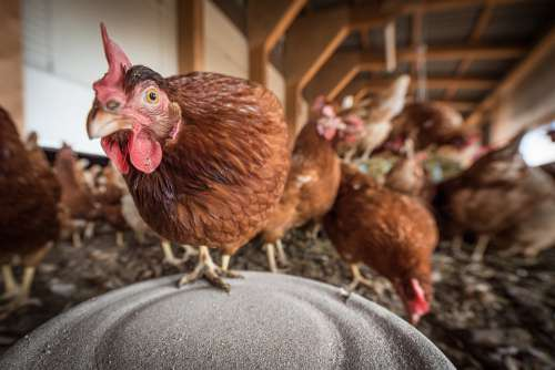 Laying Hens Hen Poultry Chicken Farm Hens