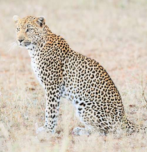 Leopard Africa Safari Cat Predator Wildlife