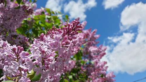 Lilac Flowers Spring Sky