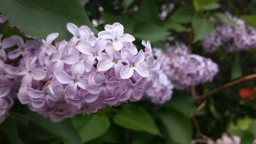 Lilac Filter Flowers Spring