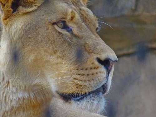 Lion Feline Zoo Animal Face Background Tier