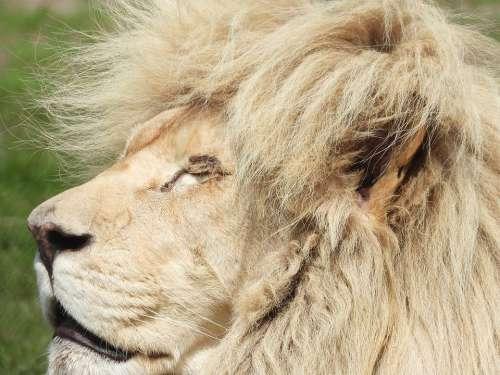 Lion Mammal Safari Cat Animals Africa Nature