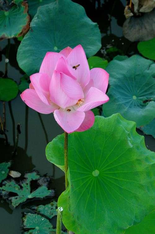 Lotus Newly Blooming Flowers Pink Lotus Nature