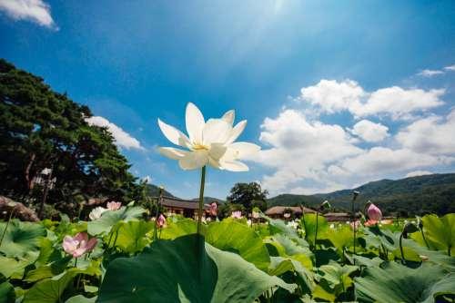 Lotus Sky Nature Flowers Cloud Healing