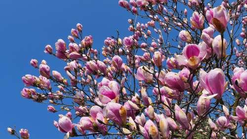 Magnolia Flowers Spring Tree Pink Plant