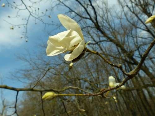 Magnolia Spring Bloom Flower Plant White