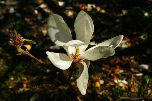 Magnolia Bud Spring Nature Pink Plant Tree