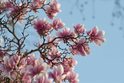 Magnolia Flower Spring Branches Pink