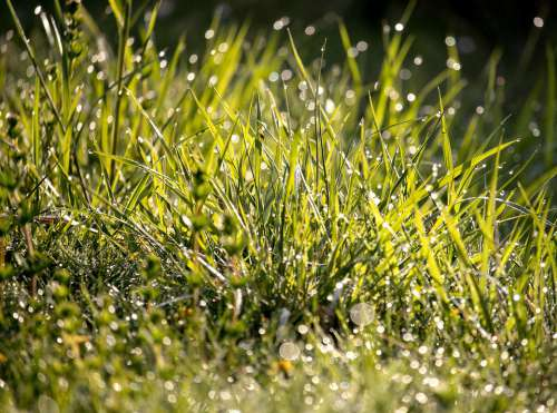 Meadow Grass Dewdrop Drip Bokeh Morning Fresh