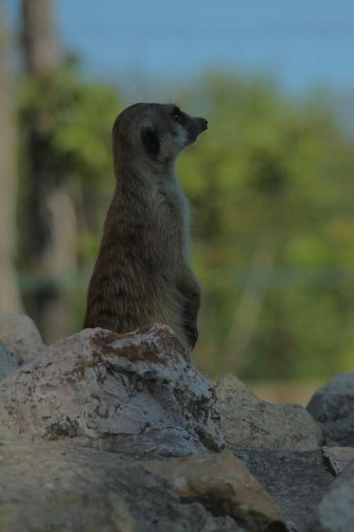 Meerkat Rodent Animal Zoo